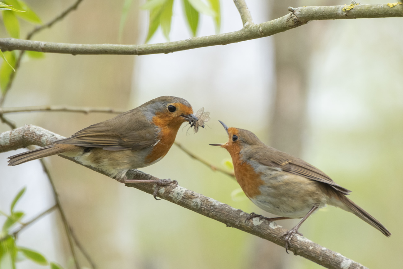 Robins eating insects Credit Sue Lindenberg